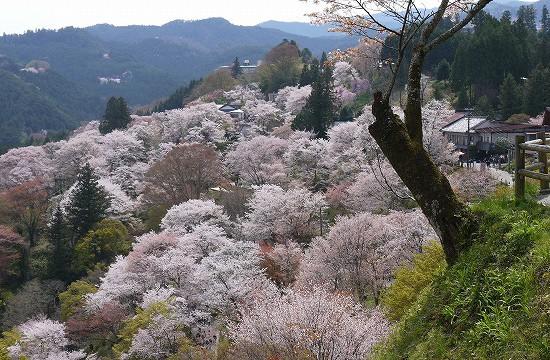 下千本の桜