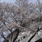 製材組合桜