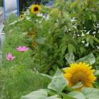 向日葵とコスモス
