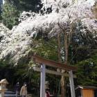 金峯桜2 (1)