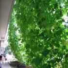 カーテン緑の