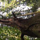 もろんじょの木