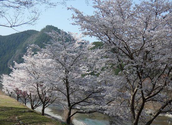 窪垣内の桜
