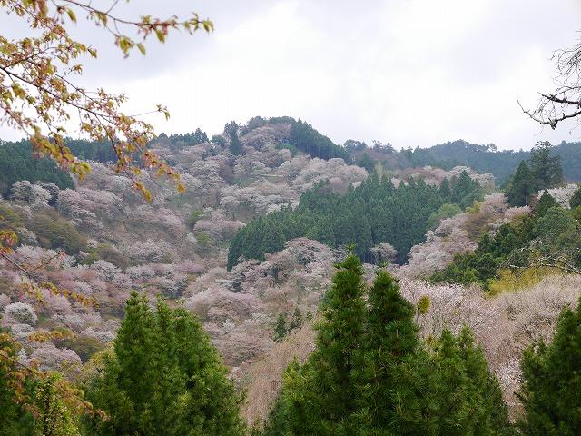 カメラマンと行く吉野千本桜